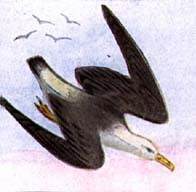 Albatross Flies Off Course